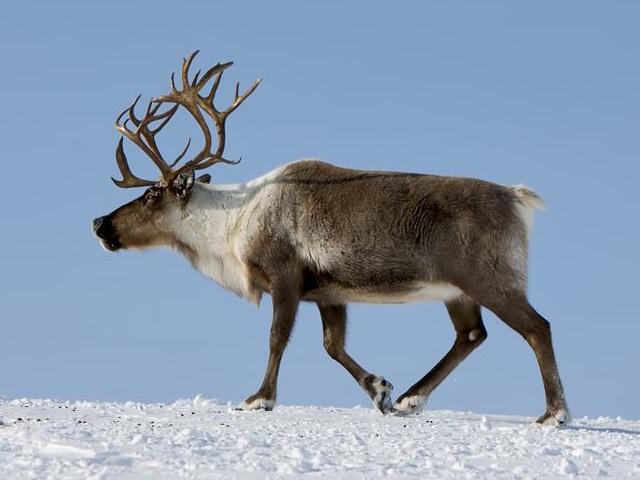 Доклад про северного оленя для детей