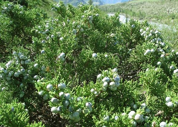 Вечнозеленый кустарник - можжевельник