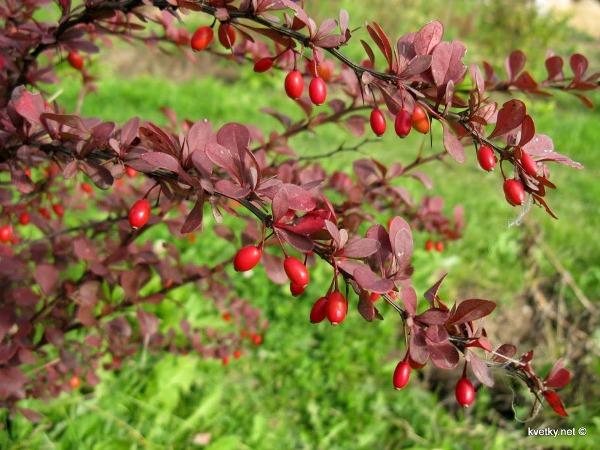 Как осенью меняют цвет листья барбариса