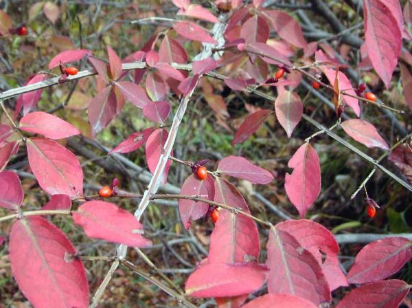 Как осенью меняют цвет листья бересклета