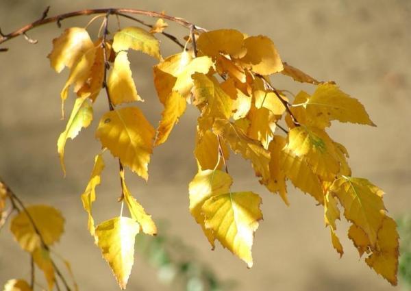 Как осенью меняют цвет листья березы