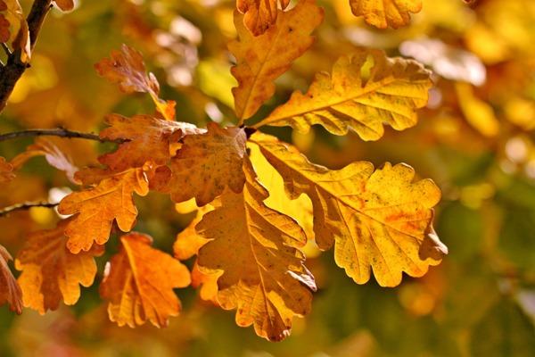 Как осенью меняют цвет листья дуба