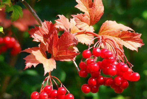 Как меняют цвет листья калины осенью