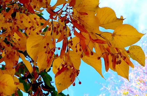 Как осенью меняют цвет листья липы