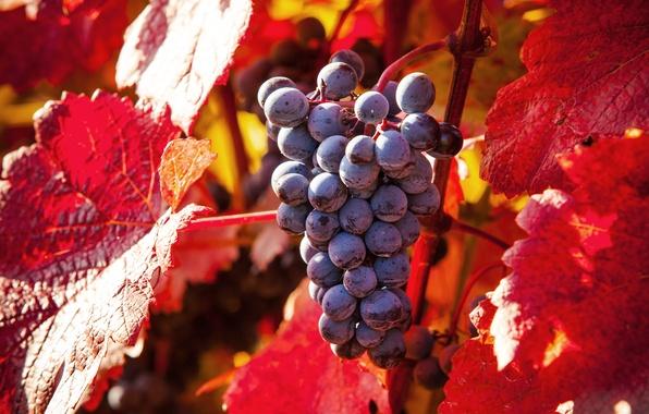 Как осенью меняют цвет листья винограда