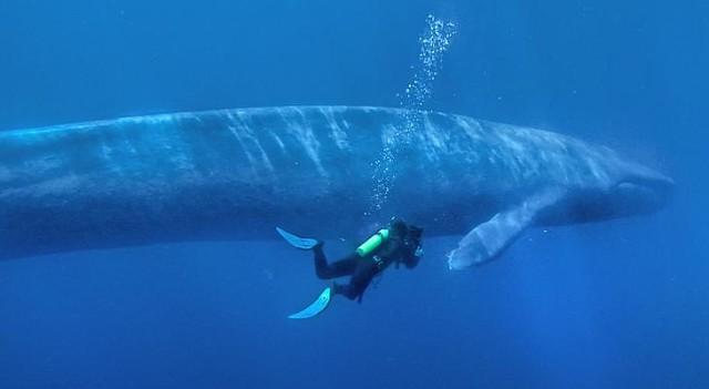 Синий кит доклад по биологии 3618