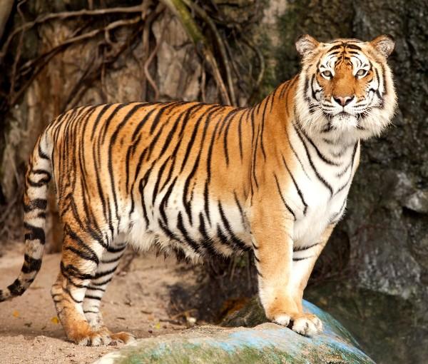 Доклад на тему тигры 8146
