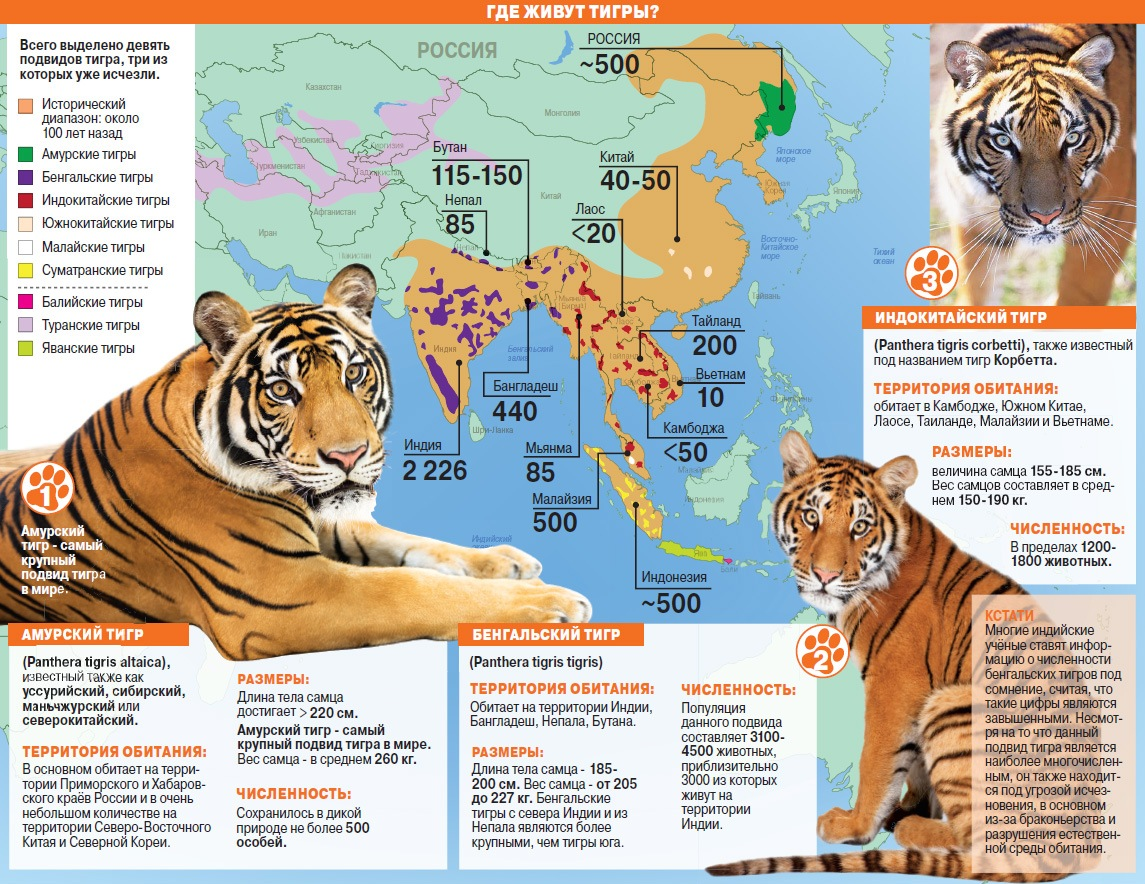 Доклад про тигров по биологии 2887
