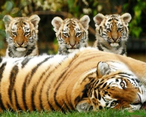 Маленький доклад про амурского тигра 5530