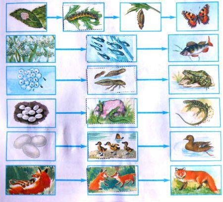обобщи полученные сведения о размножении животных отметь знаком