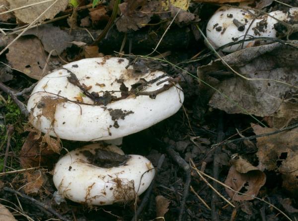 Как выглядят грибы грузди