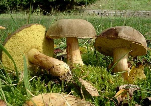 Как выглядит гриб моховик