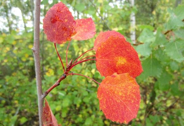 Как меняют цвет листья осины