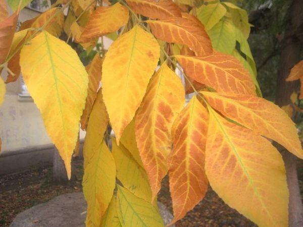 Какие листья у липы осенью