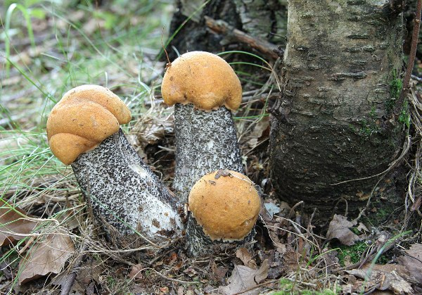 Как выглядит гриб подосиновик