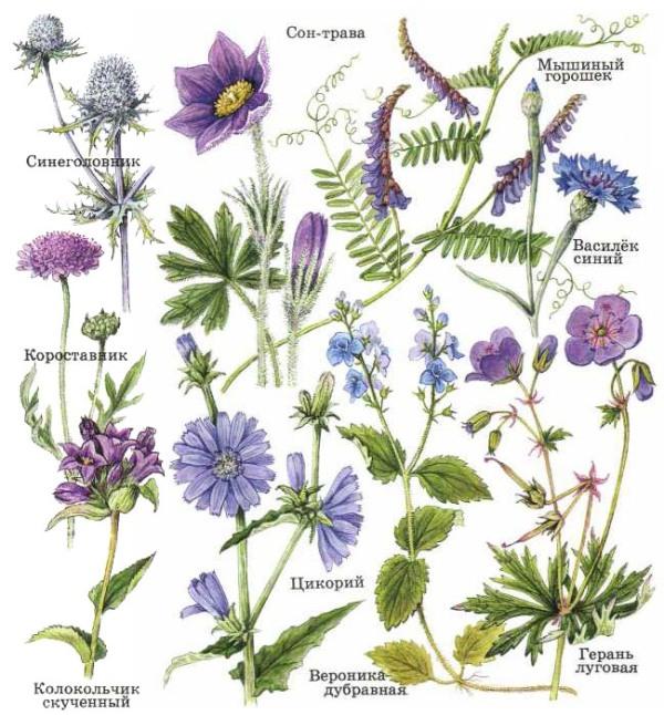 цветы и травы картинки с названиями дочерей