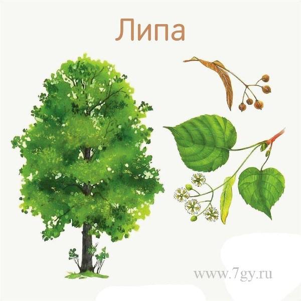 Названия деревьев и их листья. Картинки