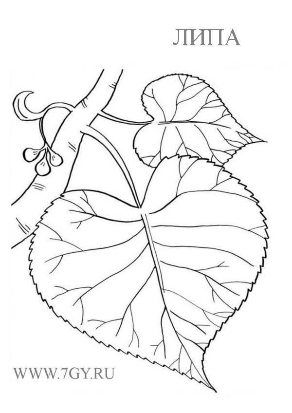 Липовый лист раскраска