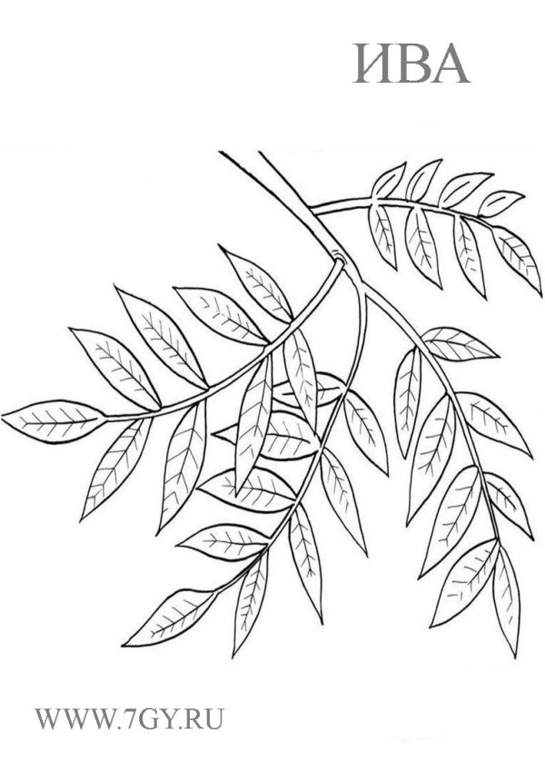 Ивовый лист раскраска