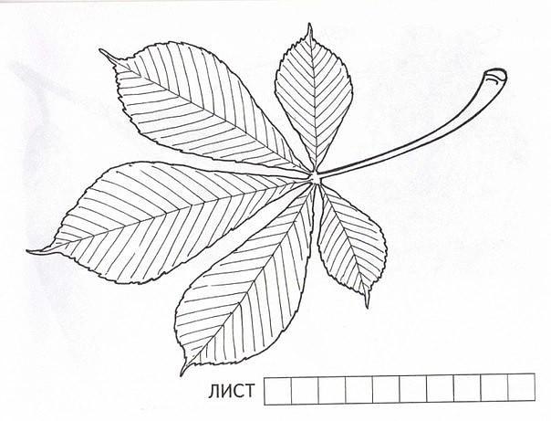 Названия деревьев и их листья. Раскраски