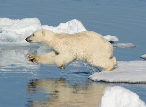 Белый медведь красная книга реферат 9725