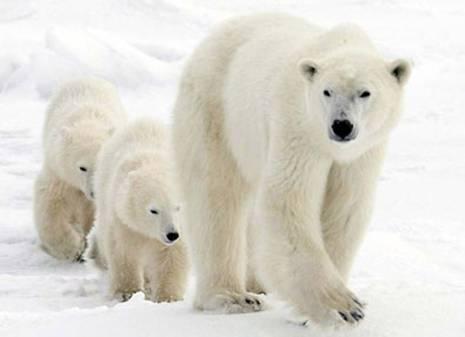 Доклад о белом медведе краткий 6801
