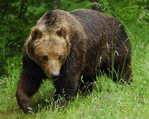 Доклад про медведя в садик 1417